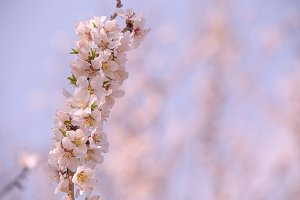 Almond flower trees at spring