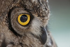 Close-up an owl