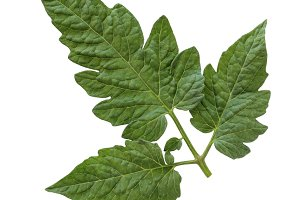 The tomato leaf