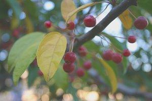 Berries on Tree