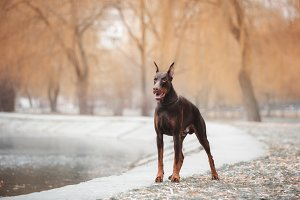 Doberman Standing near the Lake
