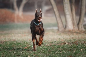 Doberman Running in the Park