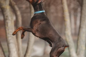 Doberman Jumping in the Park