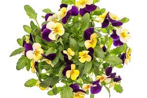 Pansy flowers spring viola