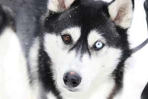 diversity, difference idea, Dog with different eye colors , blurred photo for background