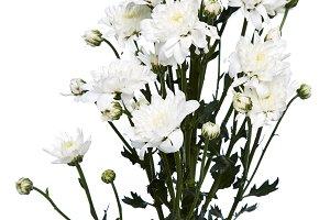 white chrysanthemums closeup