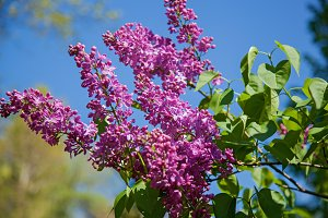 a flowering bush of lilac is in a garden, flowers by a
