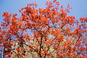 New red leaves and flowers of maple in spring