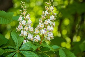 unstringing flowers of chestnut are in a spring park