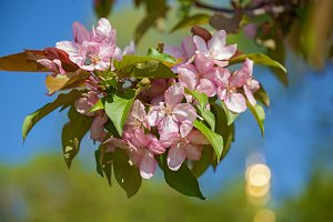 blooming apple trees in the garden, the flowers on the trees in