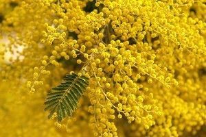 splendid mimosa on tree