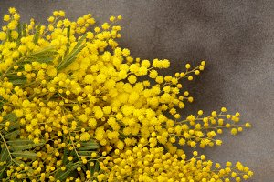 mimosa on gray background