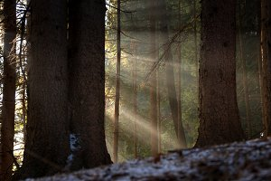 Sunbeams in the forest at sunrise