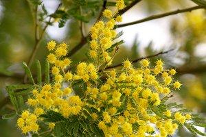 mimosa on tree