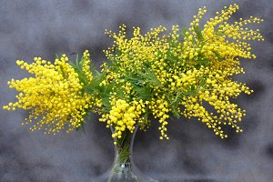 natural mimosa bouquet in vase