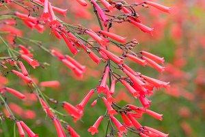 firecracker plant flower