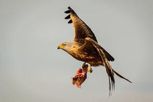 Beautiful kite in the nature