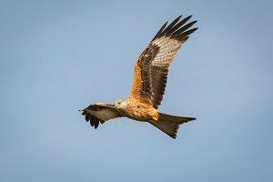 Beautiful kite in the nature