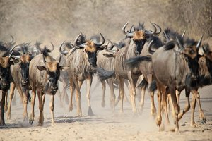 Wildebeest - Migratory Run of Life