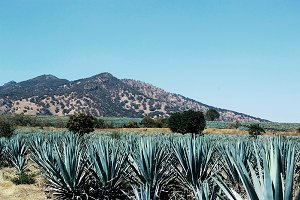 Agave tequila landscape