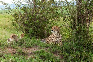 Family of cheetahs