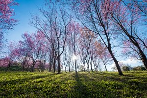 Cherry blossom, Sakura field