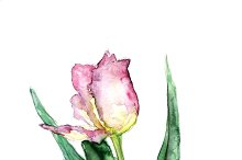 tulip with leave on a white background