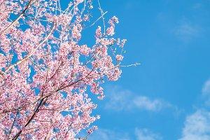 Cherry blossom, Sakura flower