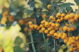 Rosehip Yellow