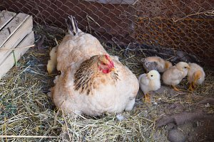 Chicken mother with chickens