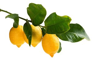 Lemons in a branch.