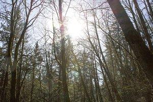 Vintage Winter Woods