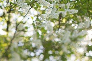 bird cherry blossoms