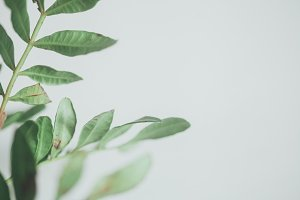 Green Leaves with White Space Photo