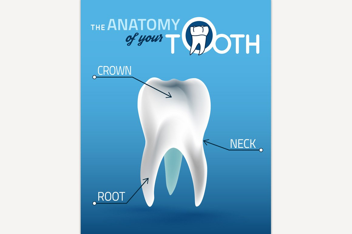Tooth Vector Anatomy ~ Illustrations ~ Creative Market
