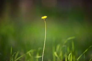 Photo wild dandelion.