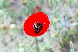 Wild poppy flower .
