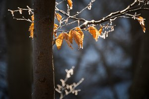 Autumn leaves in the winter forest