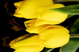 Bouquet of yellow tulips on black