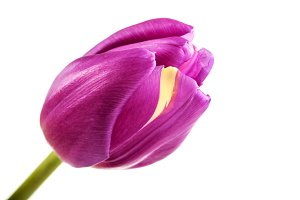 Beautiful purple tulip on white background