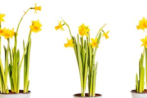 Yellow daffodils isolated on white background