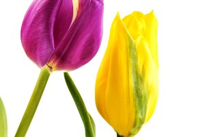 Yellow and purple tulips on white background