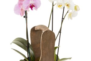 Pink and white orchid in pot on white background