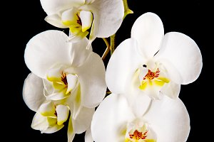 White orchid with yellow center
