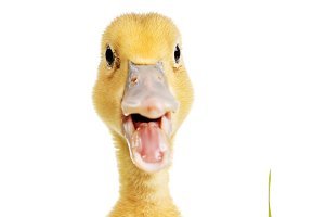 Little duck with open mouth in green grass