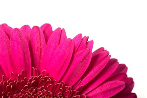 Bright pink daisy