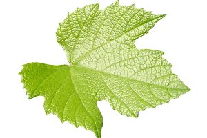 Vine leaf isolated over white