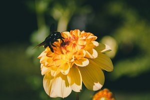 Flowers and Black Bumblebee #01
