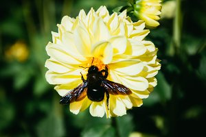 Flowers and Black Bumblebee #05