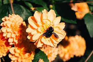 Flowers and Black Bumblebee #02